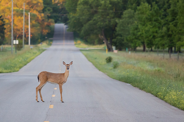 A deer standing still in the middle of a road